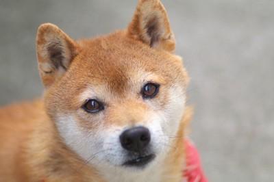こちらを見つめる柴犬