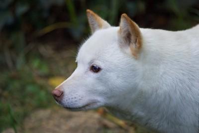 白い北海道犬の横顔
