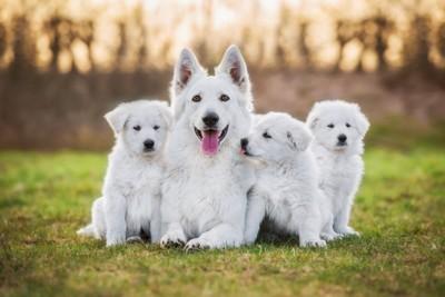 ホワイトシェパードの母犬と子供たち