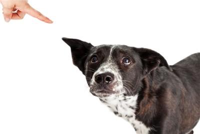 叱られて耳を上げる犬