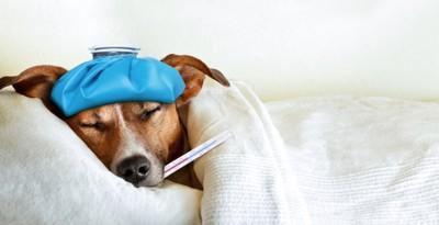 体温計と風邪をひいて眠る犬