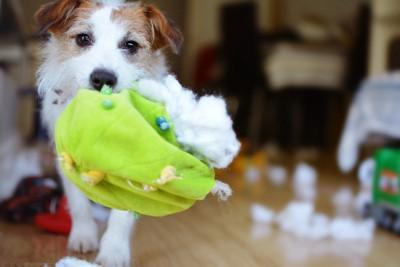 中綿が飛び出たおもちゃをくわえている犬
