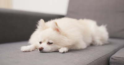 ソファーで眠っている白い犬