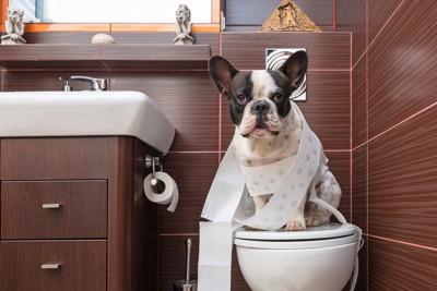 人間のトイレに座るフレンチブルドッグ