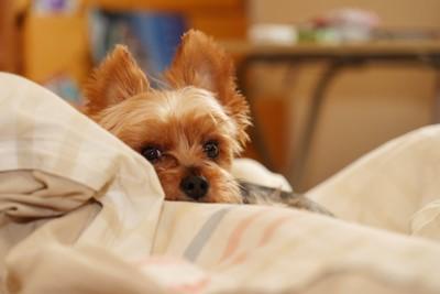 ベッドで寛ぐヨーキー