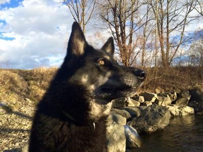 遠くを見る犬