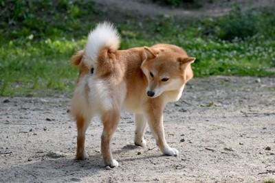 おしりを気にして振り返る柴犬