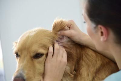 耳を診察されている犬