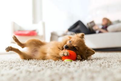 寝そべってボールで遊ぶ茶色い犬