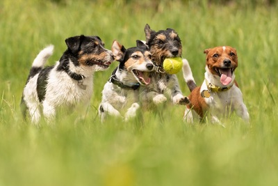 ボールで遊ぶ4頭のジャックラッセル