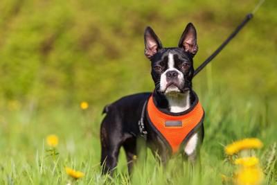 オレンジのハーネスをしている犬