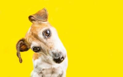 首をかしげる犬と黄色い背景
