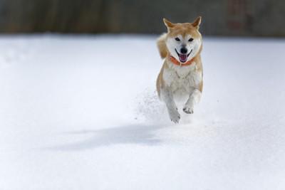雪原を走る柴犬