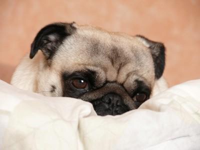 布団に埋まる犬