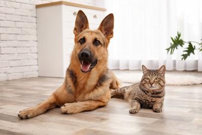 リビングでくつろぐジャーマンシェパードと猫