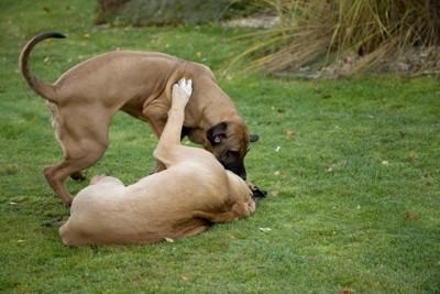 ふざけ合う2匹のブラジリアンガードドッグ