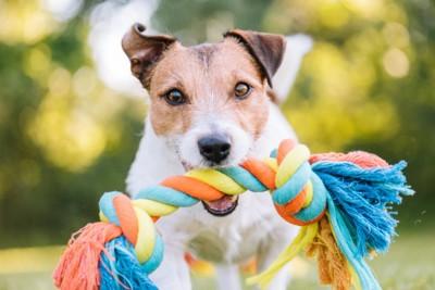 おもちゃを咥えてこちらを見ている犬