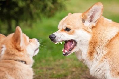 相手の犬に吠えるコーギー