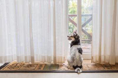 カーテンの隙間から外を見る犬