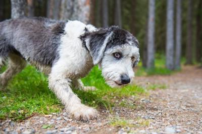 森の中を探検するポリッシュローランドシープドッグ