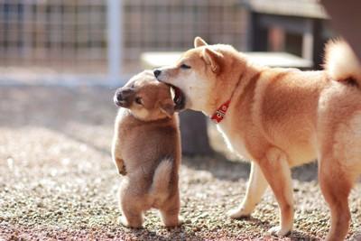 しつけをする母親犬