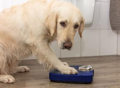 体重計に手をかける犬