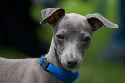 こちらを見ているイタリアングレーハウンドの幼犬