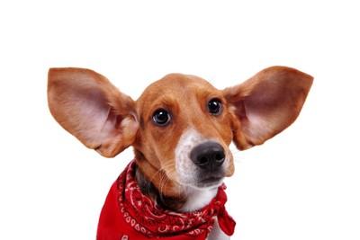 耳が広がっているビーグル