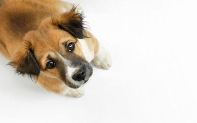 見上げる垂れ耳の犬、白い背景
