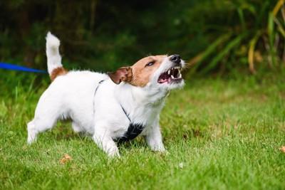 激しく吠えて威嚇している犬