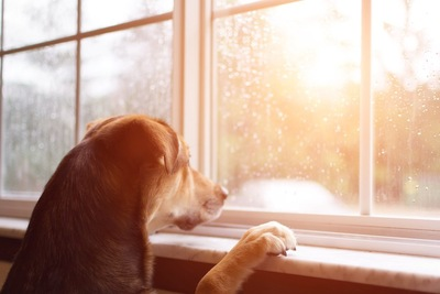 窓辺で外を見つめている犬