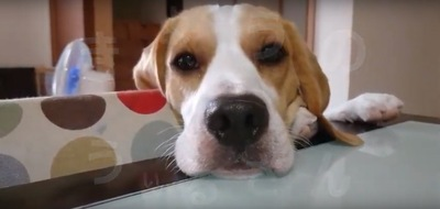 テーブルに顔を乗せる犬