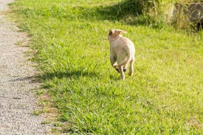 走る犬の後ろ姿、ラブラドールの子犬