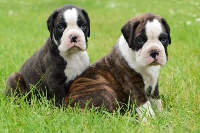 こちらも見つめる子犬2匹
