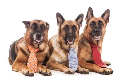 ネクタイをしたシェパード