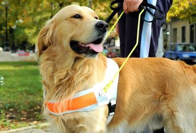 盲導犬として働くゴールデンレトリーバー