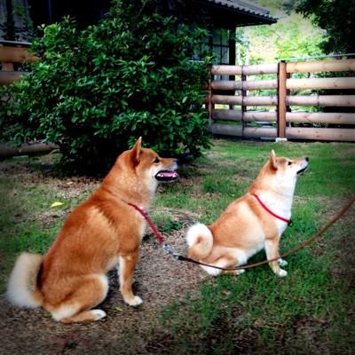 2匹で待つ柴犬
