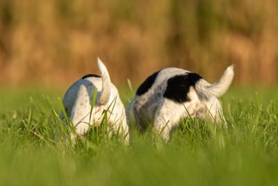 遊ぶ2匹の子犬のお尻