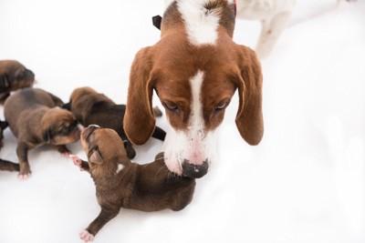 垂れ耳の犬の親子