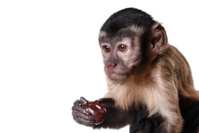 果物を食べるオマキザル