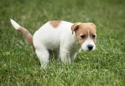 芝生の上でうんちをしている犬