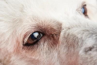 プードルの目