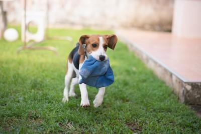 タオルをくわえて走るビーグル犬
