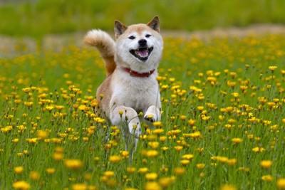タンポポの中を走る笑顔の柴犬
