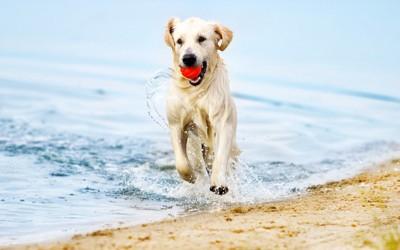 海辺でボールを咥えて走る白い犬