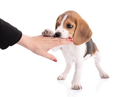 手をかむ子犬