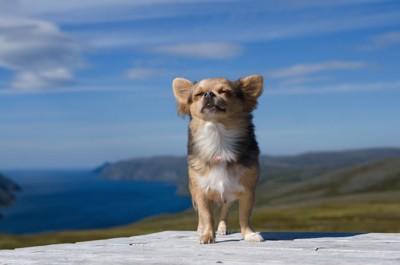 青空の下で風を感じて目を閉じるチワワ