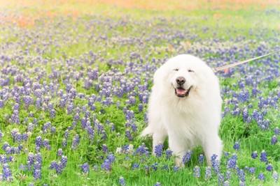 紫の花の中にいるグレートピレニーズ