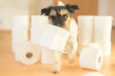 トイレットペーパーを咥えて歩く犬