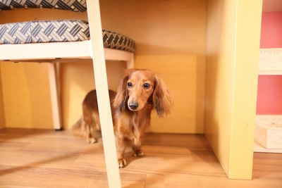 椅子の下に隠れているダックスフンド